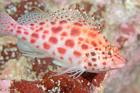 Description de l'image Coral Hawkfish.jpg.