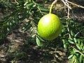 Cordyla africana (4351324476).jpg