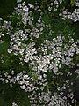 Coriander Flowers-3.jpg