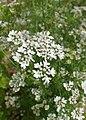 Coriandrum sativum 'Cilantro' kz02.jpg