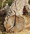 Cork oak log cut to show bark, Kew Gardens - geograph.org.uk - 1220722.jpg