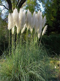 Cortaderia selloana0.jpg