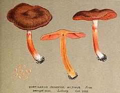 Cortinarius purpureus ilustr.jpg