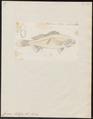 Corvina stellifera - 1700-1880 - Print - Iconographia Zoologica - Special Collections University of Amsterdam - UBA01 IZ13400063.tif