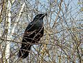 Corvus corone, Carrion Crow, Rabenkrähe 01.jpg