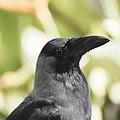 Corvus splendens @ Kuala Lumpur (4s, p15).jpg