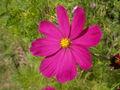 Cosmos bipinnatus02.jpg