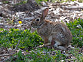 Cottontail rabbit at Marymoor Park.jpg