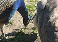 Couple of peacocks J1.jpg