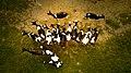 Cow spread (Unsplash).jpg