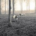 Cows (30795304674).jpg