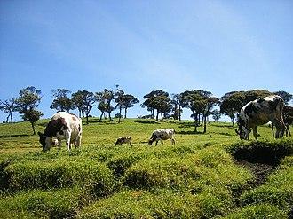 Ambewela - Cattle at Ambewela Farm.