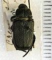 Cremastocheilus angularis Leconte, 1857.jpg