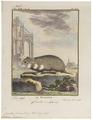 Cricetus frumentarius - 1700-1880 - Print - Iconographia Zoologica - Special Collections University of Amsterdam - UBA01 IZ20500035.tif