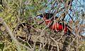Crimson-breasted Shrike (Laniarius atrococcineus) eating a Tree Skink (6499616183).jpg