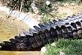 Crocodylus-acutus.jpg