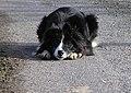 Crouching dog, Eskeradooey - geograph.org.uk - 1703392.jpg