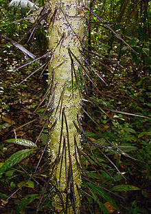 Cryosophila warscewiczii, thorns of the Silver Star Palm. (11164016416).jpg