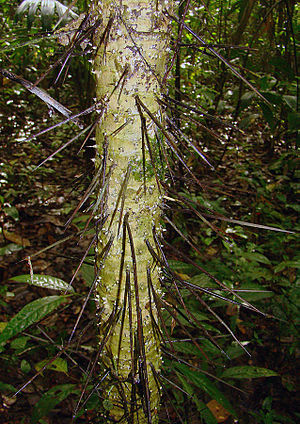 "Thorns, spines, and prickles - ""Root spines"" on the trunk of a Cryosophila species."