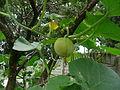 """Cucurbita maxima """"zapallo plomo"""" (Costanzi temp2) flor fruto F03 dia10 vista lateral anillo pétalos marchitos pedúnculo flor masculina M11 antesis orientación.JPG"""