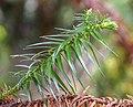 Cunninghamia lanceolata in Wellington Botanical Garden 012.jpg