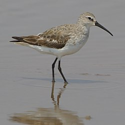 Curlew sandpiper all the way from the Palearctic (37579262474).jpg
