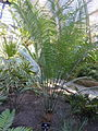 Cycas thouarsii - Balboa Park Botanical Building - DSC06772.JPG