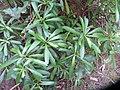 Cymopolia barbata (L.) J.V.Lamour. (AM AK238843-4).jpg