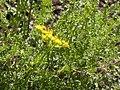 Cymopterus terebinthus or Pteryxia terebinthina (4375613833).jpg