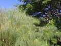 Cyperus Papyrus no RJ.jpg