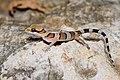 Cyrtodactylus samroiyot, Sam Roi Yot bent-toed gecko - Khao Sam Roi Yot National Park (35827992064).jpg