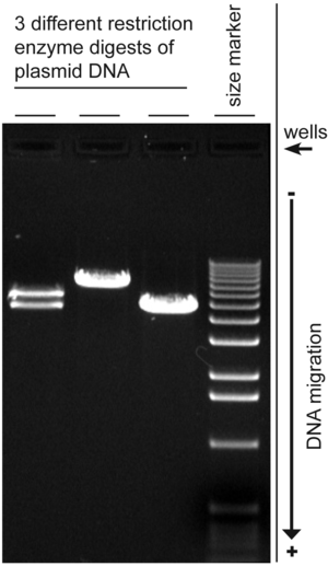 Gel electrophoresis - Digital image of 3 plasmid restriction digests run on a 1% w/v agarose gel, 3 volt/cm, stained with ethidium bromide. The DNA size marker is a commercial 1 kbp ladder. The position of the wells and direction of DNA migration is noted.