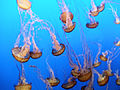 """DSC36024, Sea Nettle (""""Chrysaora Fuscescens""""), Monterey Bay Aquarium, Monterey, California, USA (6655437173).jpg"""