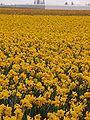 Daffodil field in Northern Washington.jpg