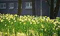 Daffodils, Bangor - geograph.org.uk - 1814001.jpg