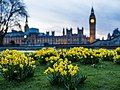 Daffodils and Big Ben (Unsplash).jpg