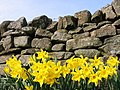 Daffodils at Mollersteads - geograph.org.uk - 236912.jpg
