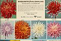 Dahlias - over 75 varieties offered in this special sales folder (1959) (20208171013).jpg