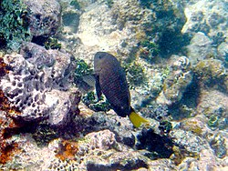 Damselfish-Microspathodon chrysurus.jpg