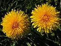 Dandelion (Taraxacum officinale).jpg