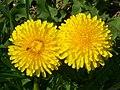 Dandelion (Taraxacum officinale) (4552591312).jpg