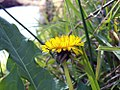 Dandelion on the banks of the Swifts Creek.jpg