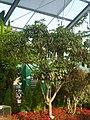 Daphniphyllum macropodum 01.JPG
