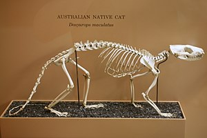 Tiger quoll - Skeleton of tiger quoll