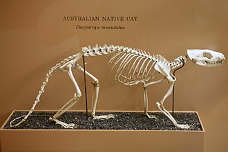Quoll - Skeleton of a tiger quoll