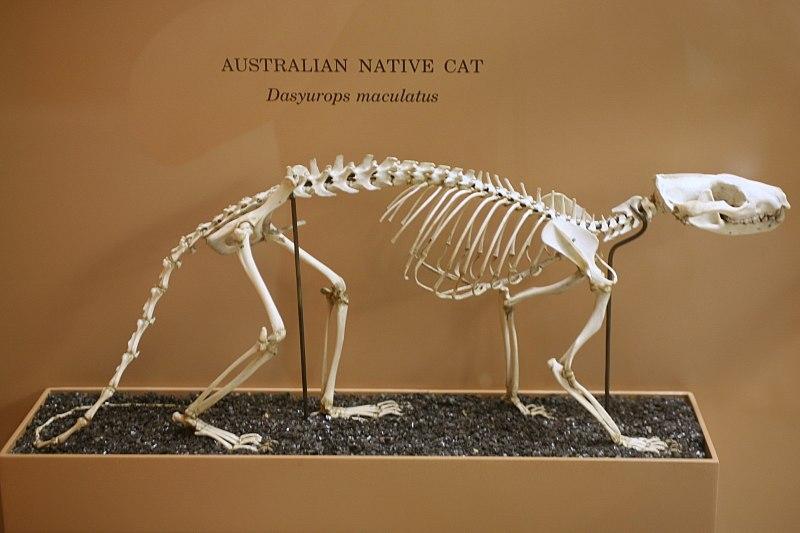 http://upload.wikimedia.org/wikipedia/commons/thumb/e/e6/Dasyurus_maculatus_skeleton.jpg/800px-Dasyurus_maculatus_skeleton.jpg