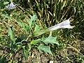 Datura stramonium var. tatula sl17.jpg