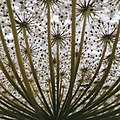 Daucus carota (Queen Anne's lace) umbel down view.jpg