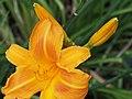 Daylilies Unknown - 9335912871.jpg