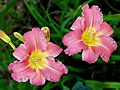 Daylily -- Hemerocallis.jpg